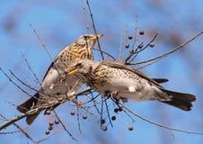 Kramsvogels (pilaris Turdus) stock foto's