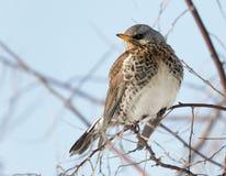 Kramsvogelvogel op tak dichte omhooggaand, Turdus-pilaris ukraine royalty-vrije stock afbeelding