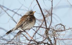 Kramsvogelvogel op tak dichte omhooggaand, Turdus-pilaris ukraine stock foto's