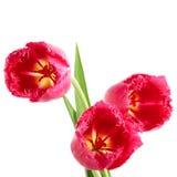kranów tulipany Obraz Royalty Free