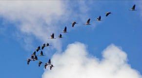 Kranar i den blåa himlen Arkivfoto