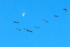 Kranar och måne Arkivfoto