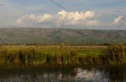 Kranar som flyger på naturen Arkivbilder