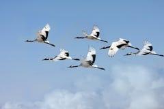 kranar som krönas flygared Royaltyfria Bilder
