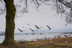 Kranflyg över sjön arkivfoton