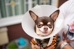 Kranke Chihuahua Lizenzfreie Stockfotografie