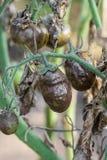 Kranke Tomaten stockbilder