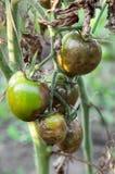 Kranke Tomaten lizenzfreie stockfotografie