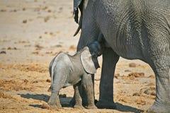 Krankenpflege des afrikanischen Elefanten Stockbild