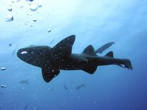 Krankenschwester-Haifisch Stockfotografie