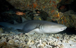 KRANKENSCHWESTER SHARK/nebrius ferrugineus stockbilder