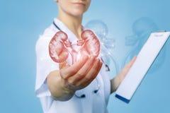 Krankenschwester zeigt Nieren lizenzfreies stockbild