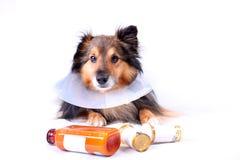 Kranker Hund Stockfoto
