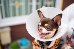 Kranker Hund, Chihuahua Stockfoto
