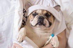 Kranker Hund der französischen Bulldogge mit Kopfschmerzen beim Bettstillstehen Stockfotografie