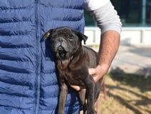 Kranker Hund des schwarzen Pug, der durch ein menschliches, einem Haustier im Bedarf heraus helfend interessiert wird stockbilder