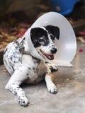 Kranker verletzte den alten dalmatinischen Hund, der halb transparenten flexiblen schützenden Plastikkragen tragend nicht reinras Stockfotos