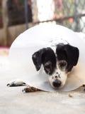 Kranker verletzte den alten dalmatinischen Hund, der halb transparenten flexiblen schützenden Plastikkragen tragend nicht reinras Stockbild