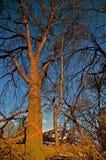 Kranker zerstört zu werden Ulmen-Baum stockfotografie