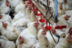 Krankes Huhn oder trauriges Huhn im Bauernhof, Epidemie, Vogelgrippe stockfotos