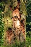 Krankes Kabel eines Baums Stockbild
