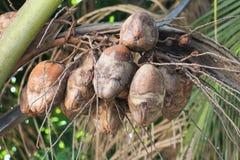 Krankheit angesteckte Kokosnussfrüchte Lizenzfreie Stockbilder