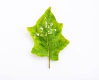Krankheiten und Insektenplagen von Blättern auf weißem Hintergrund Lizenzfreie Stockfotografie