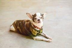 Krankheits-Chihuahua Lizenzfreies Stockbild