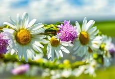 Krans av tusenskönor och växt av släktet Trifolium royaltyfria foton