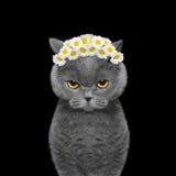 Kranz der Kamille blüht auf dem Kopf einer Katze Stockbilder