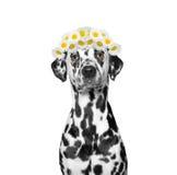 Kranz der Kamille blüht auf dem Kopf eines Hundes Stockbilder
