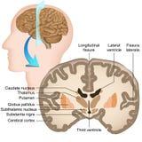 Kranzabschnitt der medizinischen Illustration des menschlichen Gehirns lizenzfreie abbildung