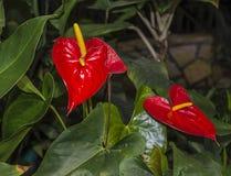 Krasbvye juicy bright colors, red petal with a white Stamen. Anthurium. Botanical Garden Stock Image