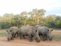Krasch av noshörningen fotografering för bildbyråer