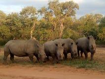 Krasch av noshörningen royaltyfri foto