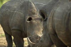 Krasch av noshörningen royaltyfri bild