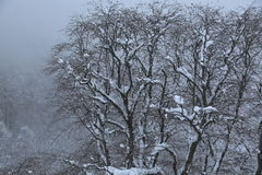 Krasnaya Polyana. Trees in winter on the slopes of Aibga Stock Images