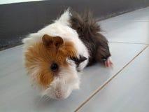 krasnoludek świnia śmieszna Zdjęcie Royalty Free