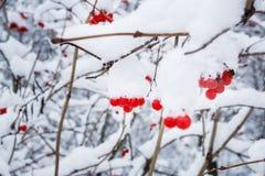 krass荚莲属的植物莓果在一个分支的在雪下在冬天 免版税库存照片