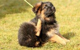 Krassend puppy Stock Fotografie