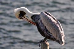 Krassende pelikaan op een pool in de oceaan Stock Afbeeldingen