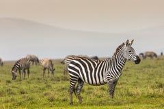 krateru krajowa ngoro parka Tanzania zebra Afryka, Kenja Obraz Stock