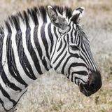 krateru krajowa ngoro parka Tanzania zebra Afryka, Kenja Obrazy Stock