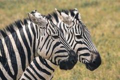 krateru krajowa ngoro parka Tanzania zebra Afryka, Kenja Zdjęcia Royalty Free