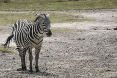 krateru krajowa ngoro parka Tanzania zebra Afryka, Kenja Fotografia Royalty Free