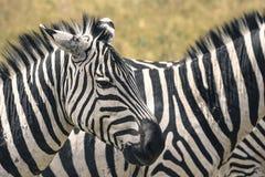 krateru krajowa ngoro parka Tanzania zebra Afryka, Kenja Zdjęcie Stock