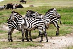 krateru ngorongoro zebra Zdjęcia Stock