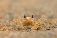 Kratzen Sie auf dem Sandstrand, Detailporträt im Naturlebensraum, Nationalpark Yala, Sri Lanka Lizenzfreie Stockfotos