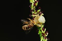 Kratzen Sie die Spinne, die eine Biene im Park isst stockbild