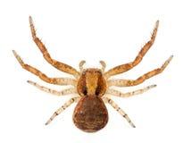Kratzen Sie Spinne, Xysticus SP stockbild